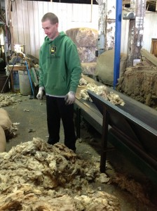 Sorting a shipment of wool from Alberta