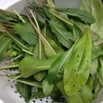 Freshly picked woad leaves