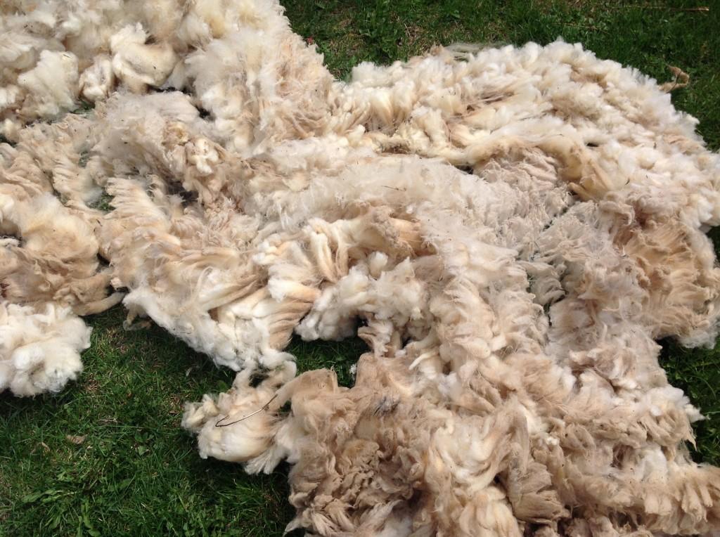 Fresh North Country Cheviot wool fleece